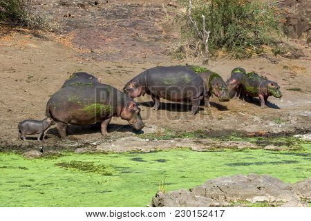 Hippos In The Kruger National Park South Africa