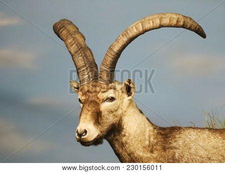 A Close Up Portrait Of A Young Ibex, Genus Capra