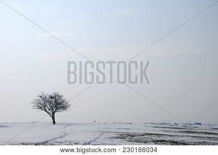 Lone Tree In A Misty Landscape With Ski Tracks And Melting Snow