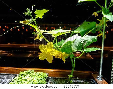 Cucumbers Grow In Boxes On A Windowsill In The House.