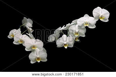 Beautiful White Orchid Branch Isolated On Black Background. Horizontal Photo.