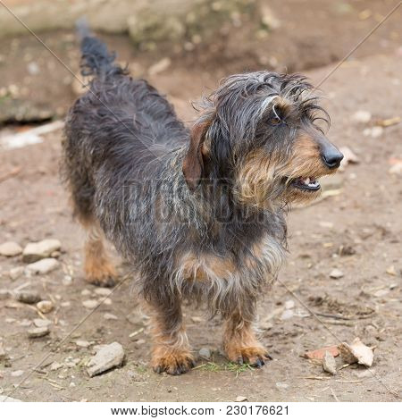 Closeup Of Adult Dachshund With Open Mouth And Shallow Depth Of Field