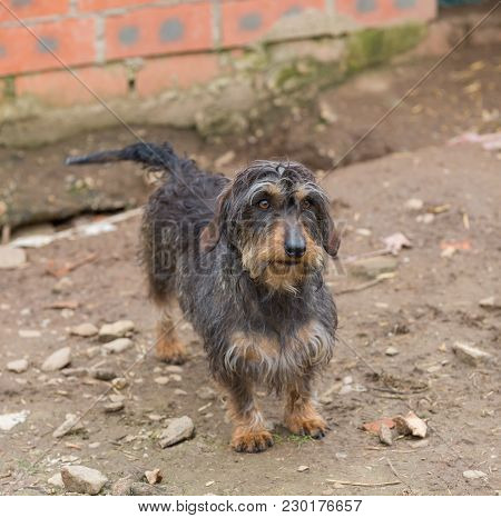 Closeup Of Adult Dachshund With Shallow Depth Of Field