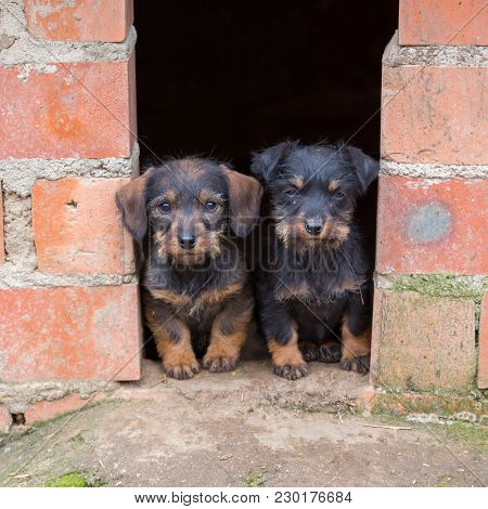 Closeup Of Baby Dachshund Dogs At Home