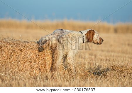Rear View Of Brown Dotted Setter Peeing Over Straw Roll