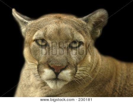 Tierische Cougar Stare