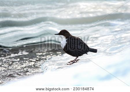 A White-throated Dipper Watching Around While Standing Next To A Hole In The Ice.