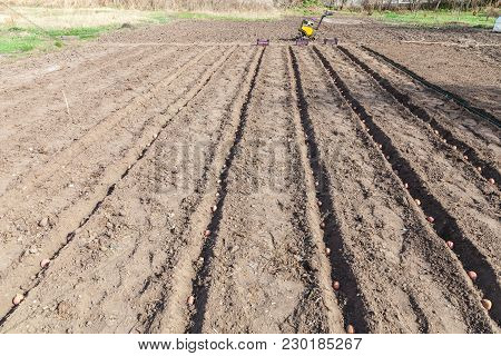 Planting Potatoes On Vegetable Garden