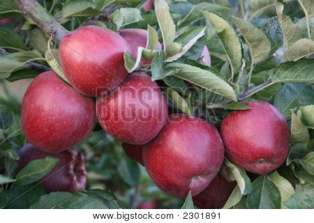 Redapples