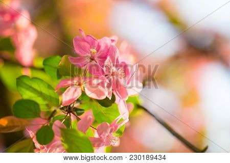 Spring blossom of beautiful fresh pink cherry flower as a dreamy soft light background and gardening orchard season concept poster