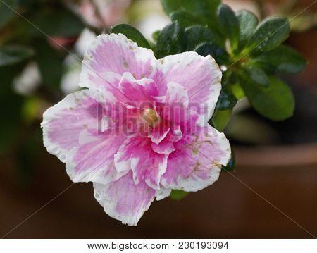Big Pink Azalea Or Rhododendron In Garden. Season Of Flowering Azaleas (rhododendron). Colorful Azal