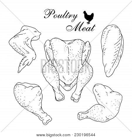 Poultry Meat. Fresh Raw Chicken. Hand Drawn Line Art Vector Illustration