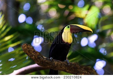 Close Up Of A Toucan On A Tree Branch In Tropical Costa Rica