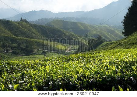 Amazing Malaysia Landscape. View Of Tea Plantation In Sunset/sunrise Time In In Cameron Highlands, M