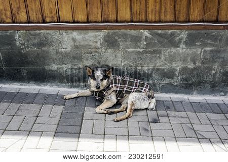 Mutt Dog Winter Chothes Wear Cold  Animal