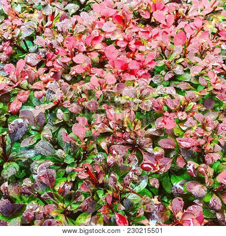 Colorful Autumn Bush In Rain Drops. Beautiful Pink And Green Shades.