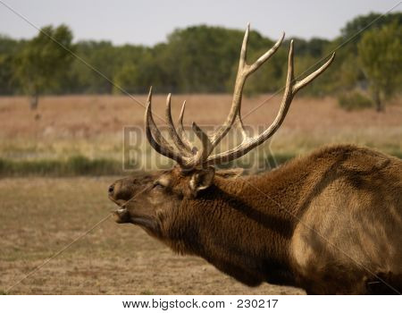 Tierische Wildlife Elk