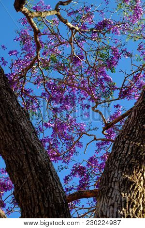 Impression Violet Flower On Flamboyant Tree