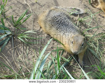 Ground Squirrel Or Gopher On Sand With Green Grass. Ground Squirrel In Its Natural Habitat. European