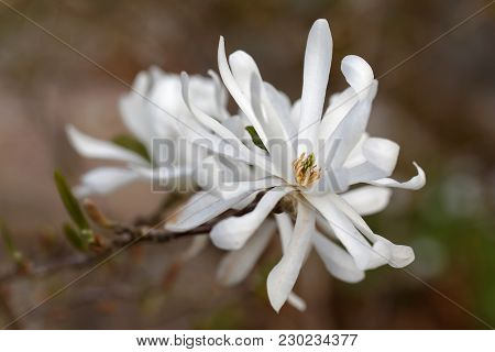 White Star Magnolia Flowers Closeup, Latin Name Magnolia Stellata