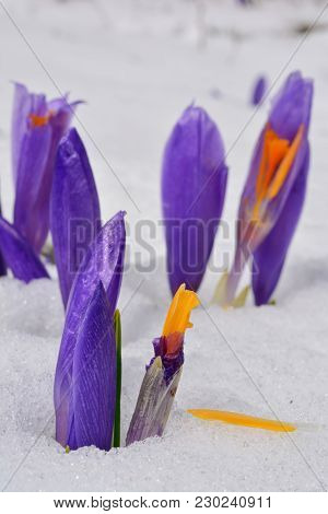 Several Burgeons Of Early Spring Crocus Vernus Or Saffron Flowers, Some Of Them Damaged, Growing Thr