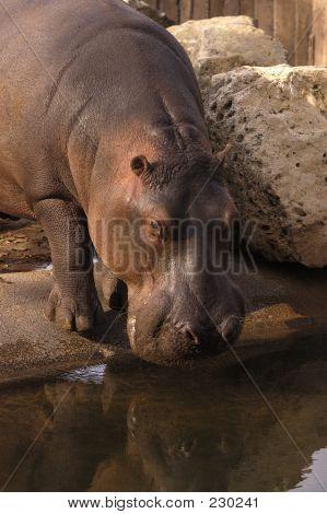 Animal Wildlife Hippo