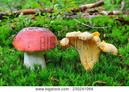 Poisonous Russula Emetica Or Sickener Mushroom And Delicious, Edible Cantharellus Cibarius Or Chante