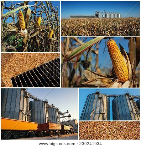 Corn Growing And Harvesting. Collage Of Photographs Showing Ripe Maize Corn On The Cob In Cultivated