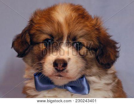 Cute Puppy Corgi Pembroke On A Gray Background. Lovely Fluffy Puppy Welsh Corgi Pembroke With Blue B