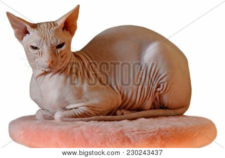 Bald Hairless Sphinx Cat Sitting On Pink Seat And Resting Isolated On A White Background. Big Cat Of