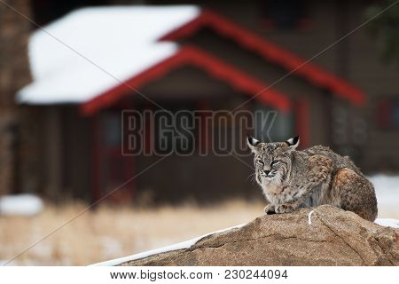 Bobcat In Residential Area. Colorado Bobcat Resting On The Rock In The Middle Of Residential Area Of