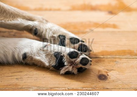 Close Up Of Light Colored Puppy Paw. Dog Feet And Legs On Wood. Close Up Image Of A Paw Of Homeless
