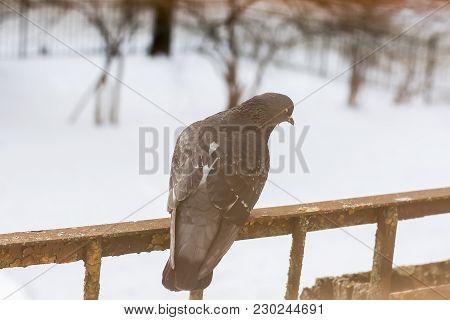 Pigeon Bird Sitting On Rustic Balcony At Winter.