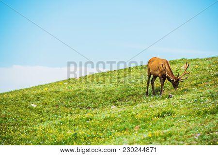 Colorado Elk And The Alpine Meadow. Colorado, United States.
