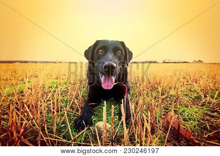 Happy Black Labrador Playing On The Field. Animal Conceptual Image.