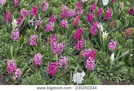 Spring Floral Background. Blooming Pink And Red Hyacinths.