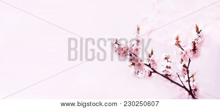 Cherry Pink Blossoms Close Up. Blooming Cherry Tree. Sakura Tree In Bloom. Spring Floral Background.