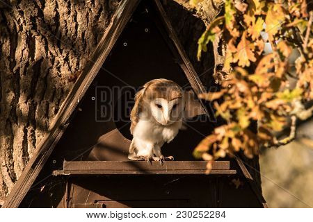 Barn Owl Perched On Nest Box Roosting In Winter