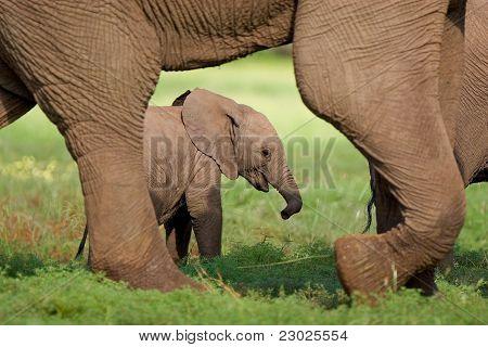 Elefant-Kalb