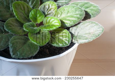 Sunbeam On A Potted Saintpaulia Or African Violet Green Leaves. Selective Focus On The Center.