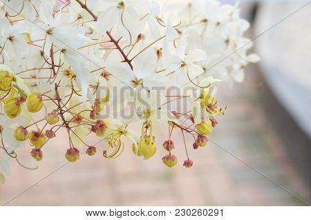 Close Up Cassia Siam White Flower Or Showering Tree And Yellow Pollen Have Blur Red Brick Floor In G