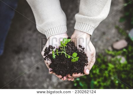 Gardener With Vegetable Seedling. Spring Garden. Plant Seedling In Farmers Hands.