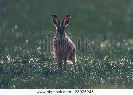 Alert European Hare (lepus Europaeus) With Pointed Ears In Field. Looking Towards Camera. Backlit By