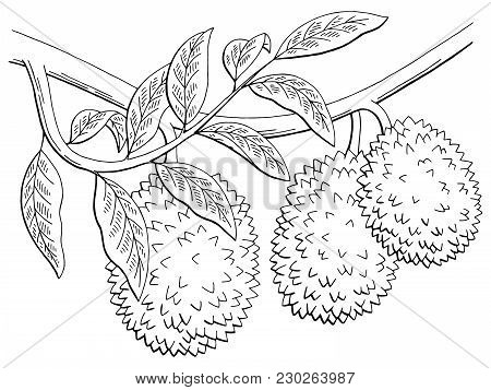 Durian Fruit Graphic Branch Black White Isolated Sketch Illustration Vector