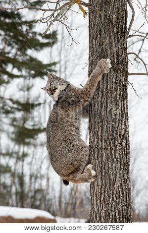 Canadian Lynx (lynx Canadensis) Looks Back While Climbing Tree - Captive Animal