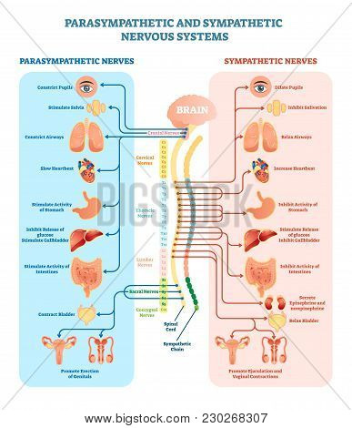 Human Nervous System Medical Vector Illustration Diagram With Parasympathetic And Sympathetic Nerves