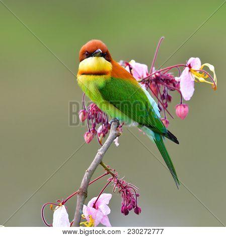 Chestnut-headed Bee-eater Bird