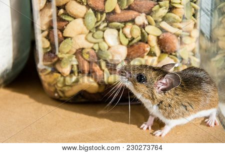 Side View Of A Wild Brown House Mouse, Mus Musculus, Looking Up At A Jar Of Mixed Nuts In A Kitchen