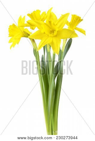 Beautiful Narcissus (narzissen, Narcissus, Amaryllidaceae) Isolated On White Background, Inclusive C