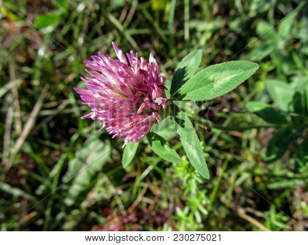Violet-pink Clover Flower Close-up On Blurred Background. Trifolium Pratense Or The Red Clover Is A